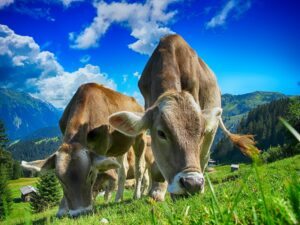 2 Beautiful Dairy cows grazing in a meadow