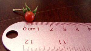 Pea sized cherry tomato next to a ruler
