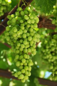 big bunch of grapes growing on the vine